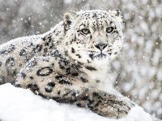 Obtuve:Leopardo Blanco - Preciso e Innovador!