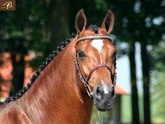 Jumper for Sale - Warmblood Winston - Stallion horse for sale | Benny de Ruiter Stables