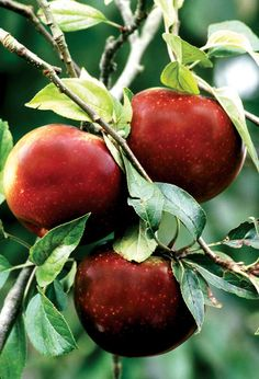 Heirloom Apple Varieties You Can Grow - Heritage apple varieties bring back the flavor of yesterday's orchards. One of the best storage apples, Arkansas Black ripens in late October.