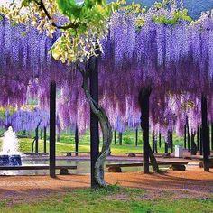 Oh beautiful wisteria!