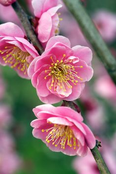 Plum blossoms, from the Ume Festival is Soga Biarin in Odawara.