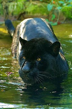 King of the Panthers (black leopard)