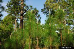 Alabama's State Tree ~ Longleaf Pine