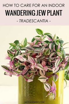 Pink plants are the best! How to care for your indoor Tradescantia plants aka the Wandering Jew, a c