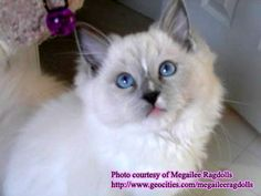 ragdoll cats | Ragdoll Cat Guide - Information, Breeder Directory, snuggles 15 yrs and Photos on ...