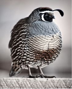 quail, photo by Thea Beesley