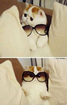 #cat #humor #docsity . Red Van Pattern Exotic Shorthair Cat. (Short haired Persian).