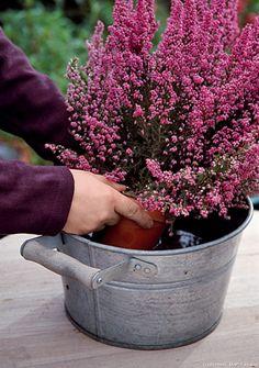 arrosage d'une bruyère en pot #bruyere #arrosage #pot #fleur #automne #jardinage #jardin