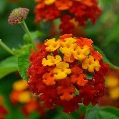 These Lantana plants would be a really great compliment to that crossvine plant I love.