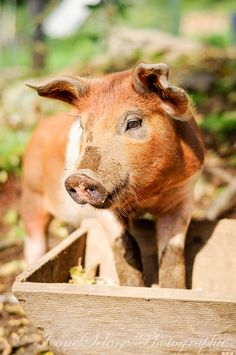 Country Living ~ Little farm pig.