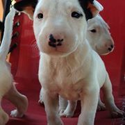 Mini Bull Terrier Puppies For Sale In St Catharines Ontario Puppiesforsaleontario Com