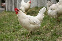 Hvordan koke høne - http://www.matbok.no/hvordan-koke-hone/