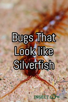 When dealing with insects it's always important to know exactly what type of problem you have on your hands. That goes for silverfish and for insects that look like silverfish as well. Silverfish Control, Woodlice, Insect Orders, Centipedes, Earwigs, Types Of Insects, What Type, Live Long, Wild Life