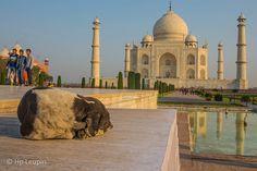 Sleeping dog inside Taj Mahal Sleeping Dogs, Taj Mahal, India, Building, Travel, Goa India, Viajes, Buildings, Destinations