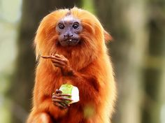 Golden lion tamarin at Apenheul, Apeldoorn, the Netherlands, making a well known gesture with it's middle finger