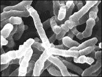 Pediococcus.gif