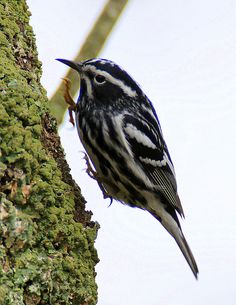 Black-and-White Warbler by William Dalton