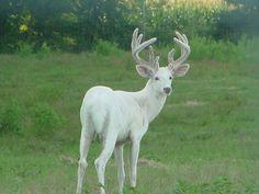 Albino Whitetail buck - OUTDOORSMAN.com