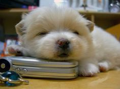 little white pup