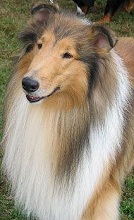 Rough coated collie!!!