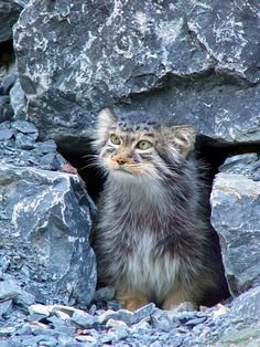 The Manul is a wild cat with round pupils, which gives their faces a disconcerting human quality.