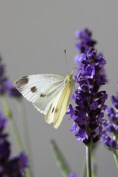 on lavender