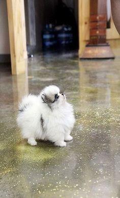 Pretty little teacup pomeranian puppy   Flickr - Photo Sharing! #Pomeranian