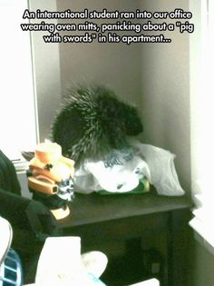 """""""Pig with swords"""" is the best nickname for a porcupine I have ever heard. It sounds badass! Then again, if I wasn't from this country and I saw this creature in my American apartment, I'd call it strange names too! (via demetricaden)"""