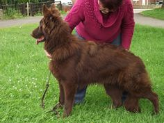 long haired liver german shepherd - Google Search