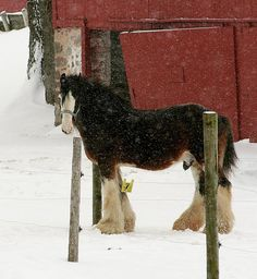 baby clydesdale + snow | animals + equine photography #horses