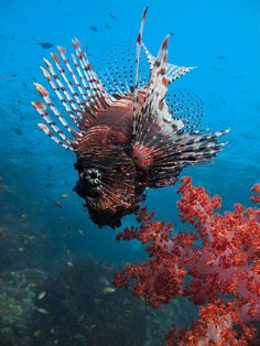 """Lionfish: """"With their elongated, venomous fins like fluttering scarves, lionfish can easily conceal themselves from potential prey."""" www.bradtguides.com"""