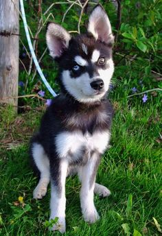 Alaskan Klee Kai .    I. NEED. IT.