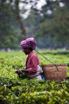 INDIA: Tea Harvest in Assam