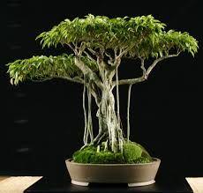 bonsai ficus benjamina con raices aereas.. impresionante!!!