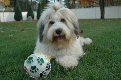 tibetan Terrier photo | Domani Tibetan Terriers: Frequently Asked Questions, Photo 3