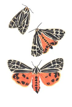 "field—guide: ""Grammia virgo (Virgin Tiger Moth)G. virgo is part of the Arctiinae family, commonly known as Tiger Moths, and the largest of the Grammia species 5 x 7 inches Acrylic on. Moth Tattoo Design, Watercolor Tiger, Gouache Painting, Painting Tips, Tiger Moth, Butterfly Art, Butterfly Images, Insect Art, Guache"