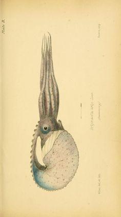 Argonauta argo. Initiamenta conchologica, or, Elements of conchology. London…
