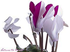 Magisches Leinwandbild mit weiß-pinken Cyclamen-Blüten.  Leinwandbild, Fototapete oder gerahmter Kunstdruck