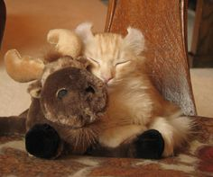 I love moose! I Love Cats, Cool Cats, American Curl Kittens, Types Of Cats Breeds, Animals And Pets, Cute Animals, American Wirehair, Brown Cat, Cat Cafe
