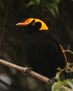 Regent bowerbird by Flickr user Seabamirum