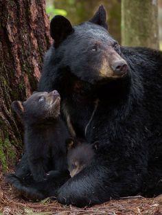 Bear with cubs