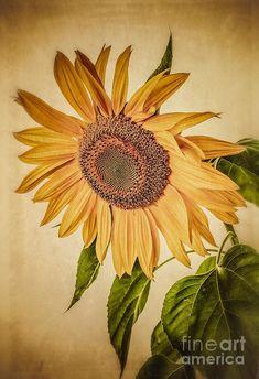 Vintage Sunflower Photograph