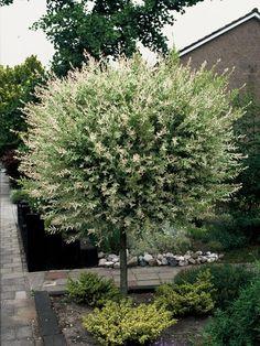 Die Harlekin-Weide passt perfekt in kleine Gärten