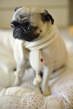 I wonder if it's cold enough to wear my hat too. #cutepug #pug