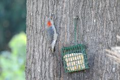 Female Red Bellied Woodpecker