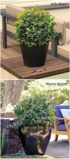 Leckere Gartenheidelbeeren auf Terrasse und Balkon - möglich mit den zwei Sorten der Brazel Berry`s®. Gefunden auf www.tom-garten.de