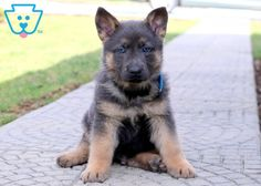 Cute Animals Gif Animated regarding Puppies For Sale In Hermitage Pa. Kittens For Adoption Portland Cute Little Puppies, Baby Puppies, Cute Puppies, Cute Dogs, Dogs And Puppies, Awesome Dogs, Doggies, Cute Baby Animals, Animals And Pets