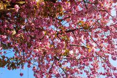 Detail of cherry blossom trees in Bonn. (*Shutterstock)