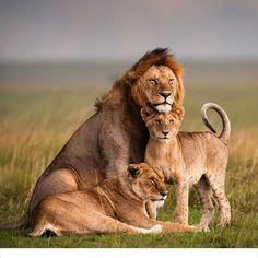 lion family portrait Photo b - Großkatzen - Animals Big Cat Family, Lion Family, Animals And Pets, Baby Animals, Cute Animals, Beautiful Cats, Animals Beautiful, Beautiful Family, Gato Grande