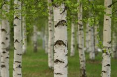 How to Plant a Birch Tree...
